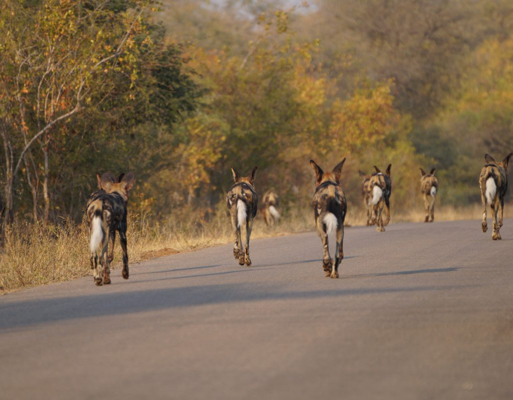 Wilde-hond-Kruger-National-Park
